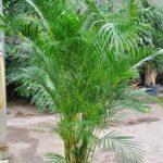 Goldfruchtpalme, Dypsis lutescens, Chrysalidocarpus, Rest