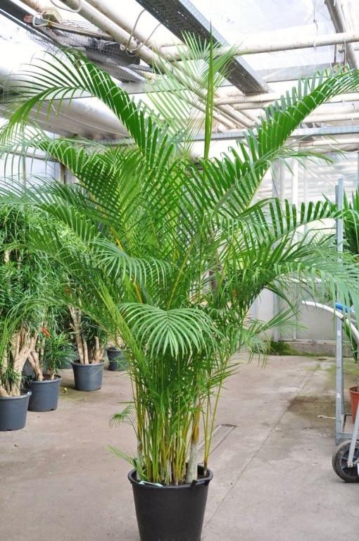 Zimmerpalmen arten archive seite 4 von 4 zimmerpalmen der gro e palmenratgeber - Zimmerpalme arten ...