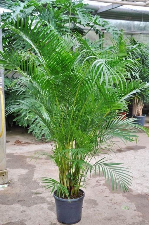 Zimmerpalmen arten archive zimmerpalmen der gro e palmenratgeber - Zimmerpalme arten ...