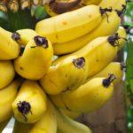 Echte Zuchtbanane – Musa paradisiaca