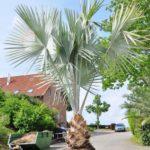 Zimmerpalmen - Zimmerpalmen- Der große Palmenratgeber