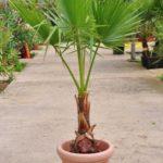 Petticoat-Palme – Washingtonia robusta