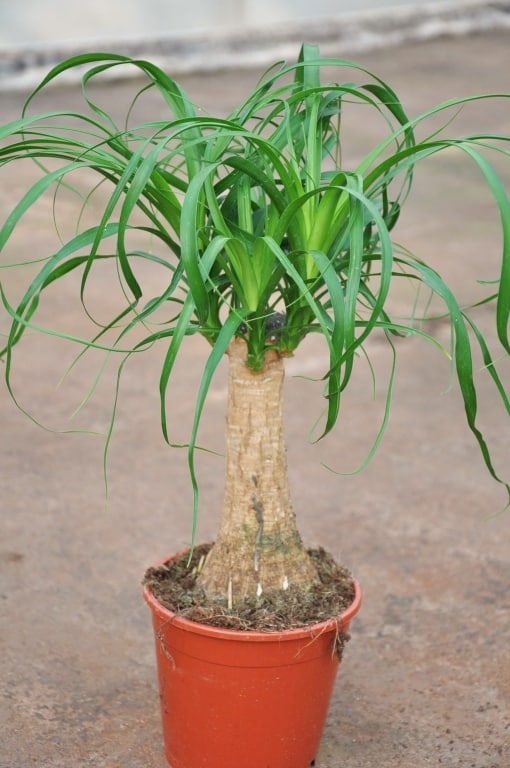 Bilder von zimmerpalmen bilder von zimmerpalmen zimmerpalmen palmen bolschetz der mehrj hrige - Zimmerpalme arten ...