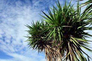 hohe Yuccapalme