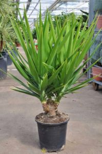 yucca palme info pflege empfehlungen alles ber die yucca. Black Bedroom Furniture Sets. Home Design Ideas
