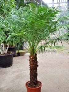 Zwergdattelpalme in Blumentopf