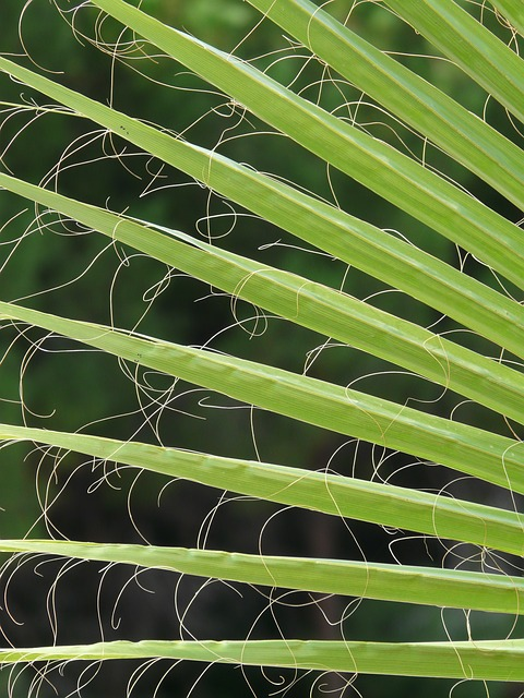 Palme f r zimmer palme zimmerpalmen der gro e palmenratgeber - Palme zimmer ...