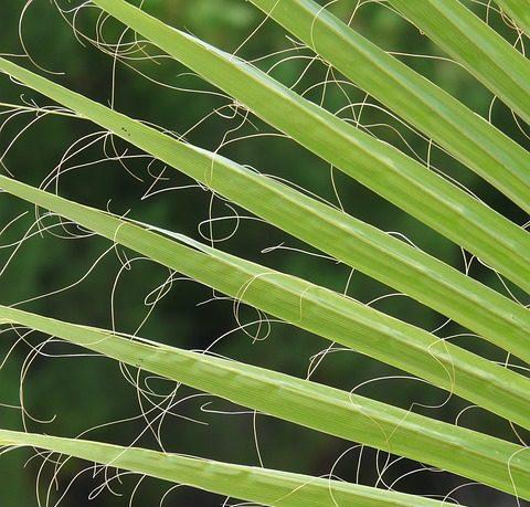 palme f r zimmer palme zimmerpalmen der gro e palmenratgeber. Black Bedroom Furniture Sets. Home Design Ideas