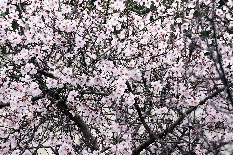 Mandelbaum in voller Blüte